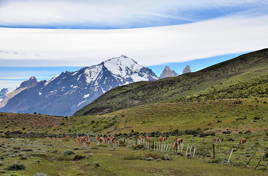 Chile - Patagonia - Guanaco Herd and Torres del Paine Mountains by Jeremy Hall