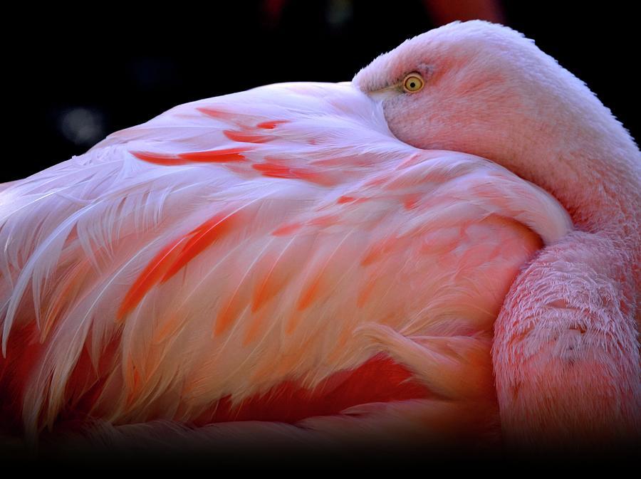 Chilean Flamingo Photograph by Yuko Smith Photography
