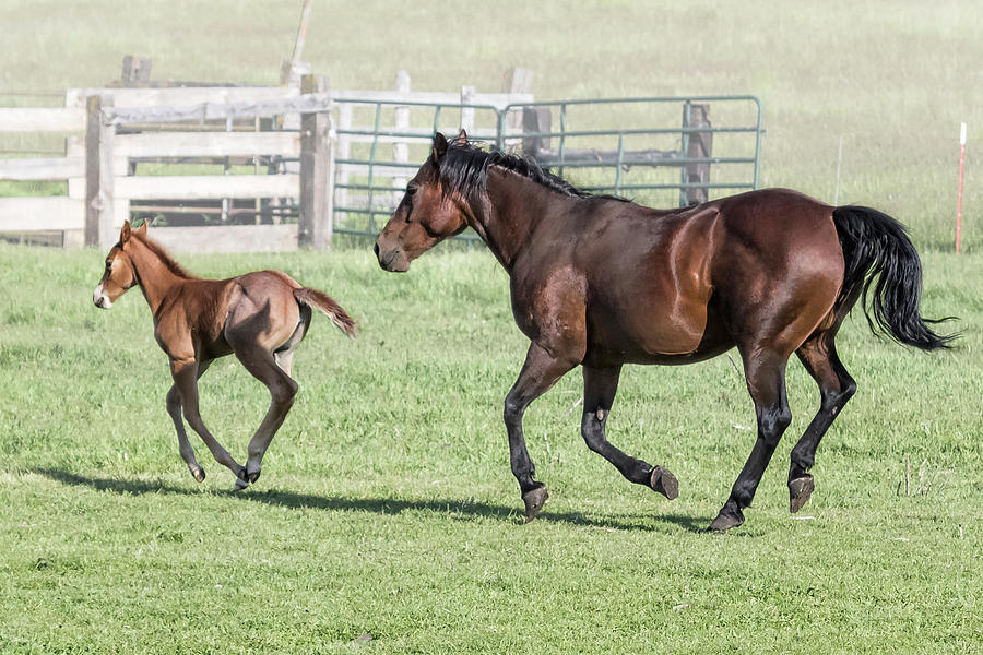 Chiloquin Mare and Filly Running, No. 2 by Belinda Greb