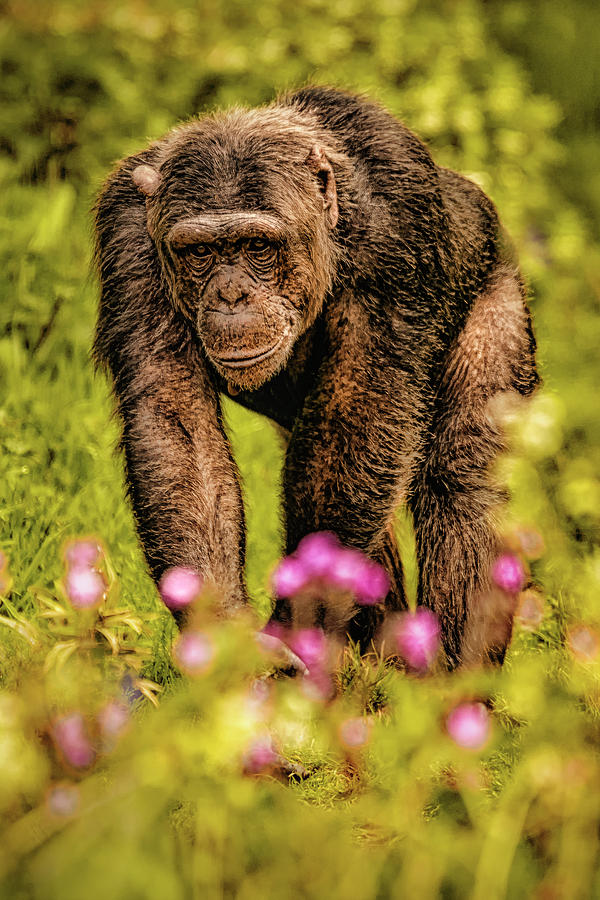 Chimp by Chris Boulton