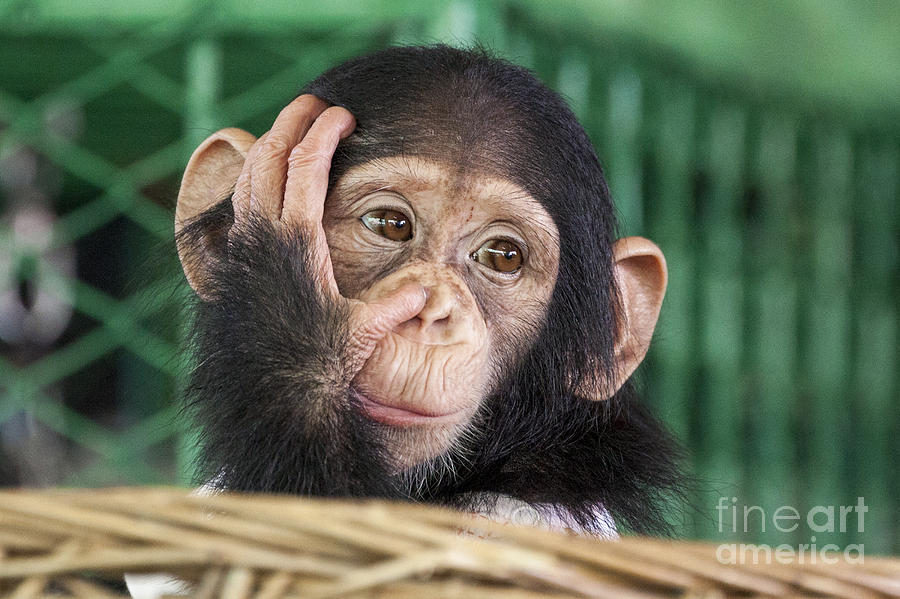 Forest Photograph - Chimpanzee Face by Apple2499