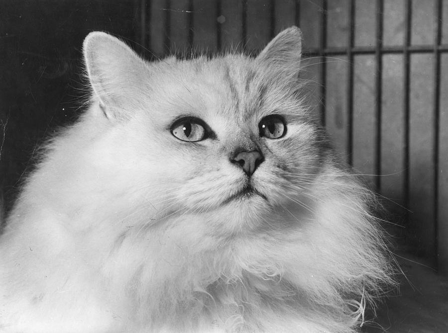 Chinchilla Cat Photograph by Folb