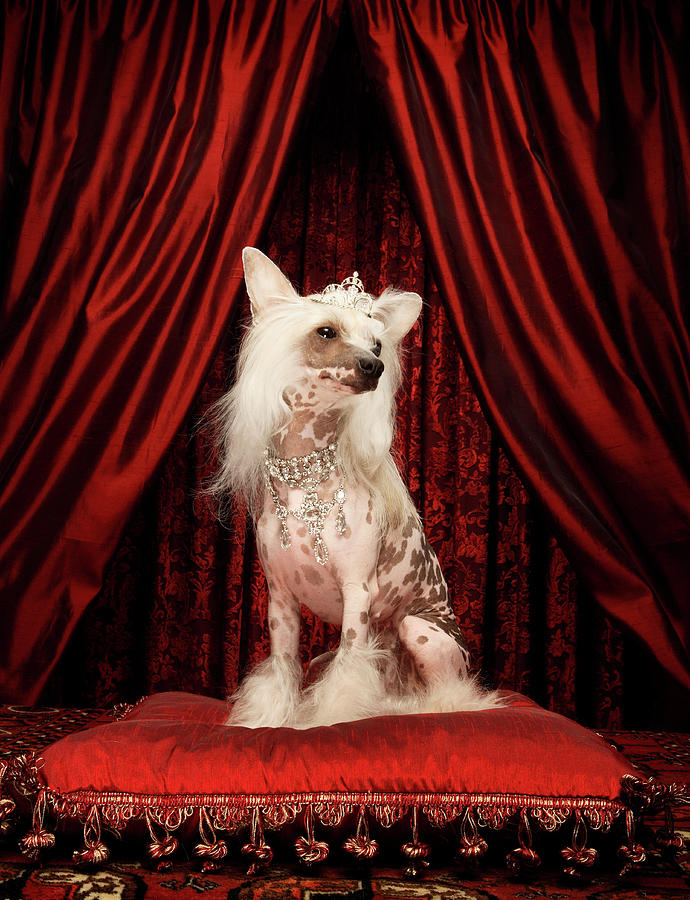 Chinese Crested Dog Wearing Tiara Photograph by Karen Moskowitz