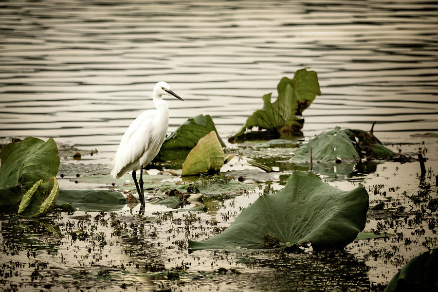 Chinese Egret by Kathryn McBride