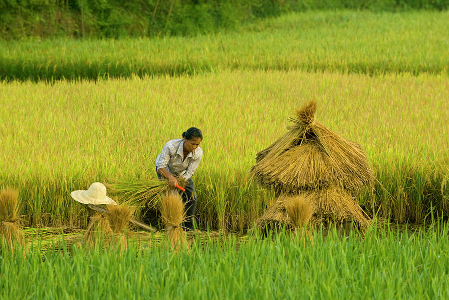 Chinese Farmer Working In Rice Harvest Photograph by Nancy Brown