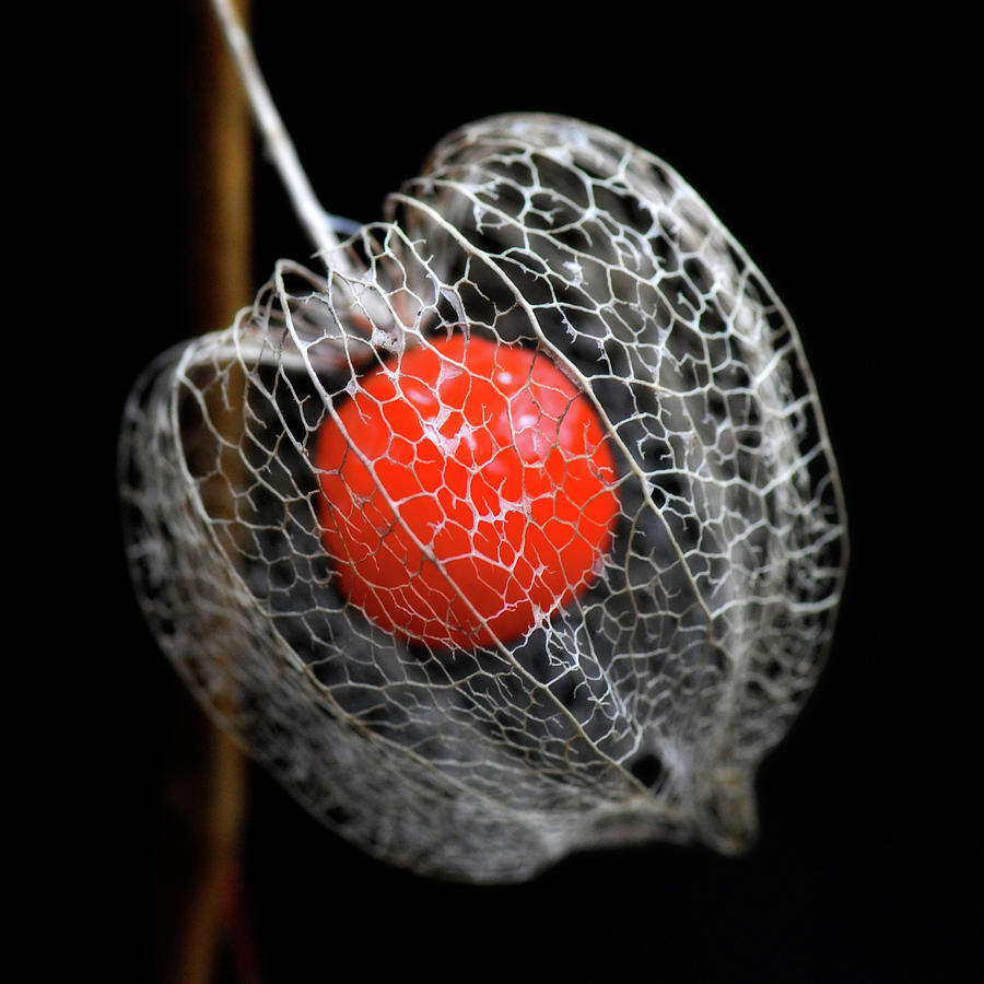 Chinese Lantern Seeds Photograph by Philippe Sainte-laudy Photography