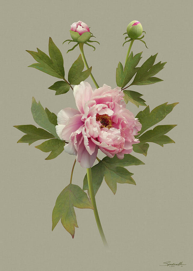Chinese Pink Peony by M Spadecaller