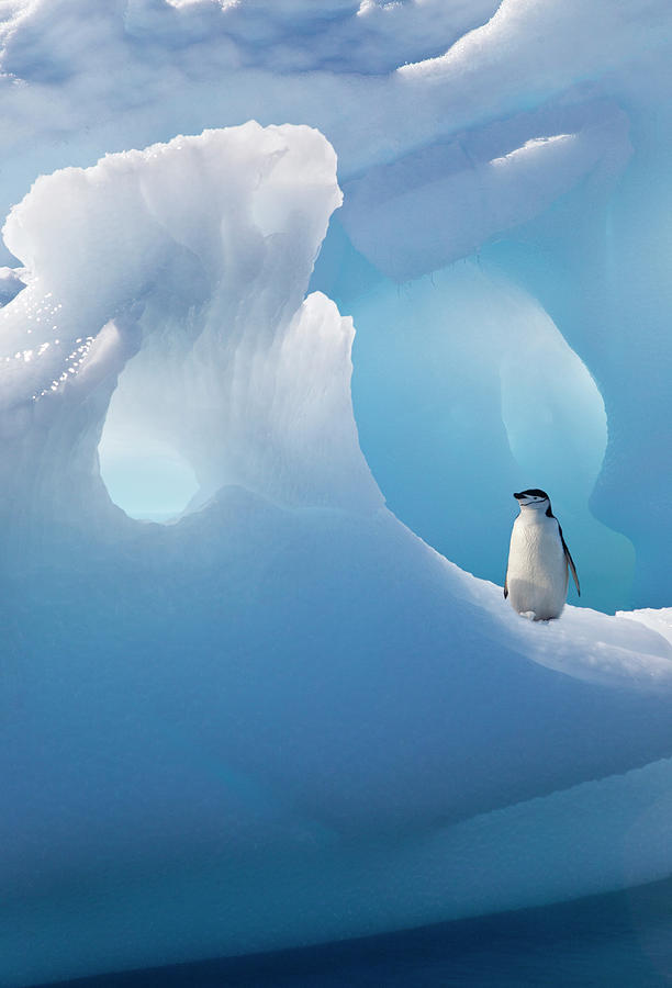 Chinstrap Penguin On Iceberg Photograph by Darrell Gulin