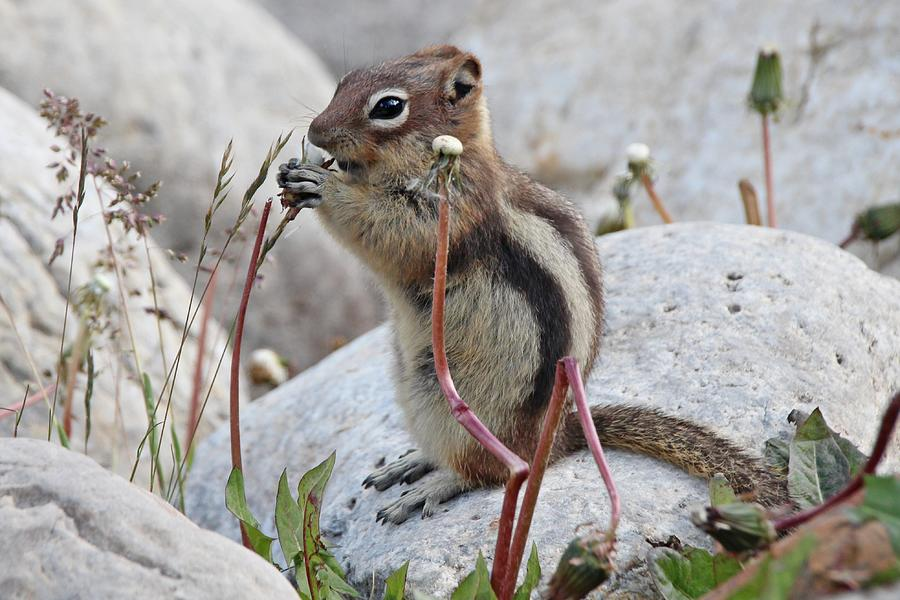 Chipmunk Eating Dandelions Photograph