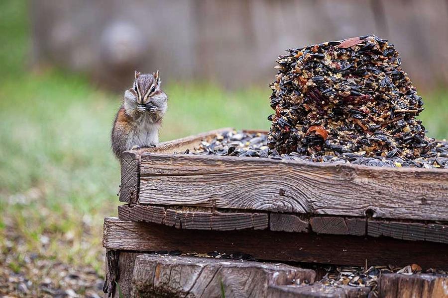 Chipmunk Feast by Tim Stanley