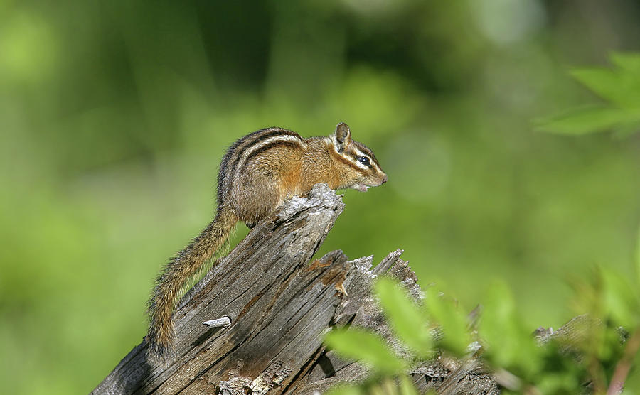 Chipmunk by Ronnie and Frances Howard