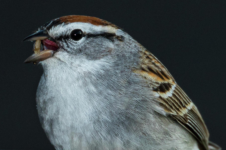 Chipping Sparrow 2 by Allin Sorenson
