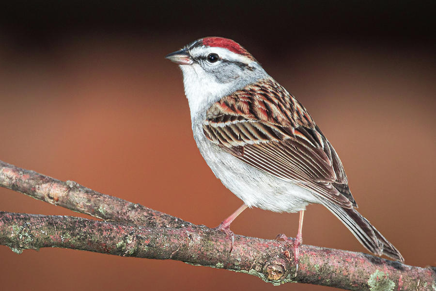 Chipping Sparrow by Allin Sorenson
