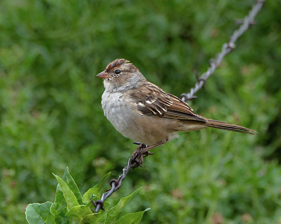 Chipping Sparrow On A Wire by Yeates Photography