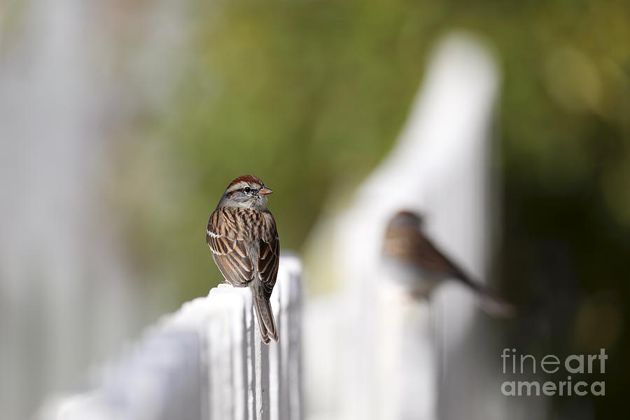 Chipping Sparrows on a Fence by Rachel Morrison