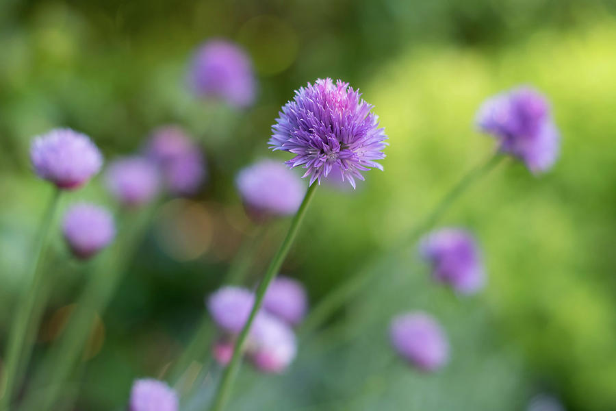Chive Blossoms by Jani Freimann