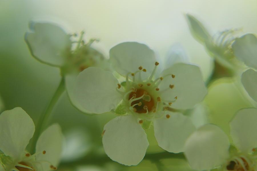 Choke Cherry Blossom by TJ Fox