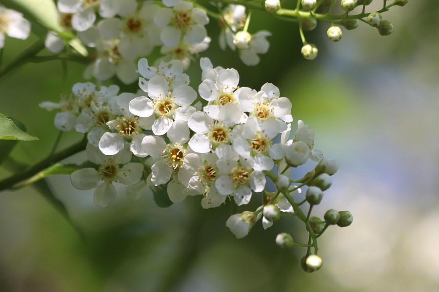 Choke Cherry Tree Blossom by TJ Fox