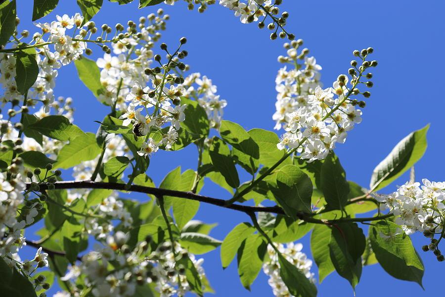 Choke Cherry Tree Blossoms Against Sky by TJ Fox