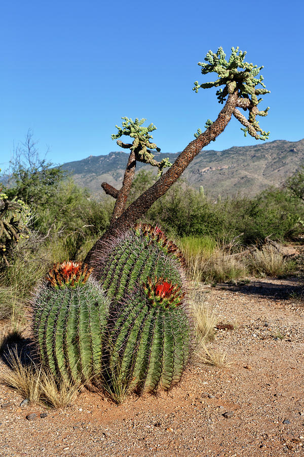 Cholla And Barrel Cactus Photograph