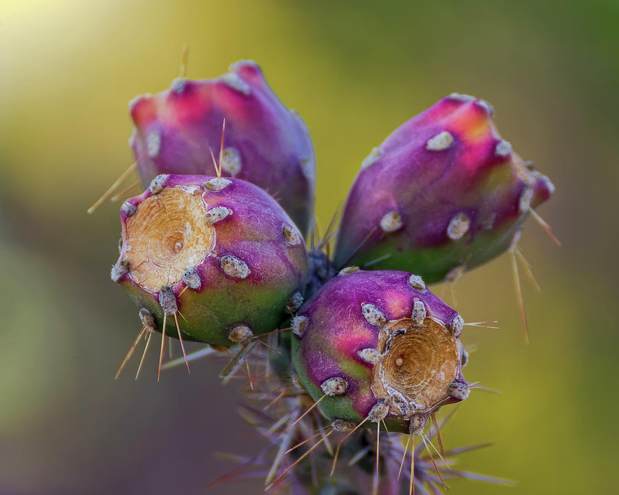 Cholla Fruit h1921 by Mark Myhaver