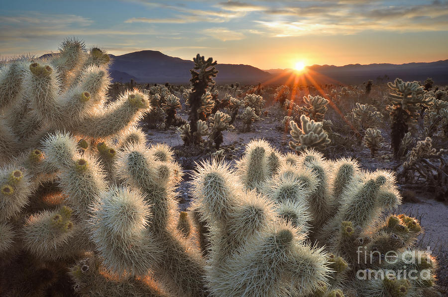 Camping Photograph - Chollas Cactus Sunrise Joshua Tree by Sierralara