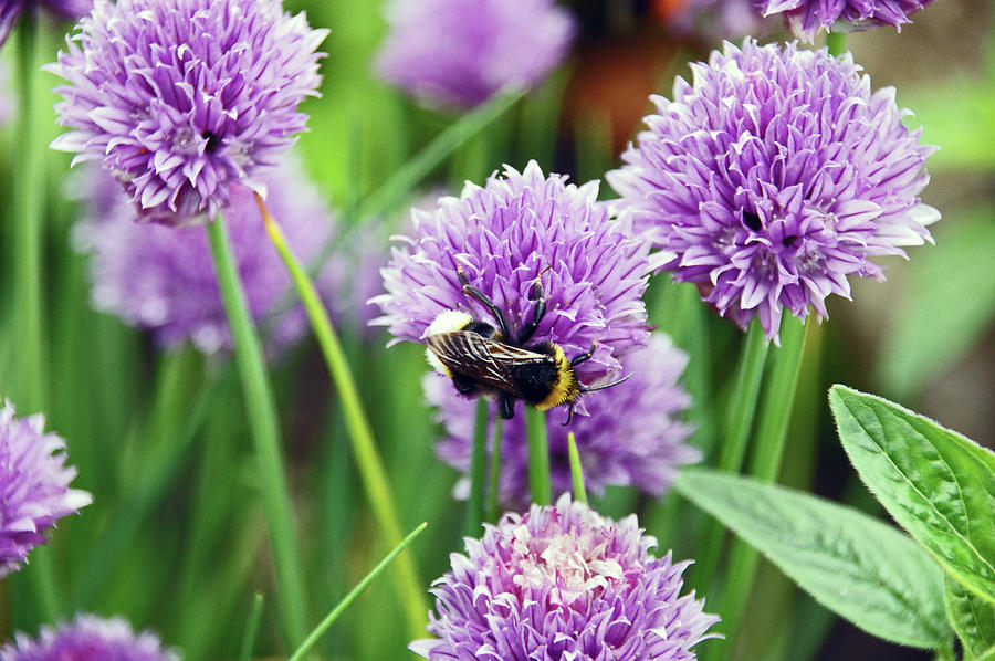 CHORLEY. Picnic In The Park. Bee In The Chives. by Lachlan Main