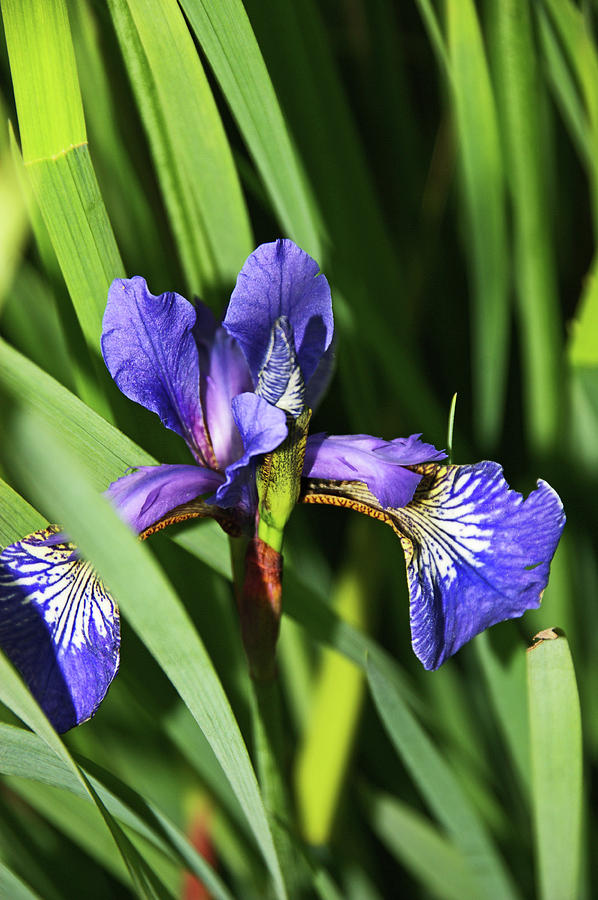CHORLEY. Picnic In The Park. Walled Garden Iris. by Lachlan Main