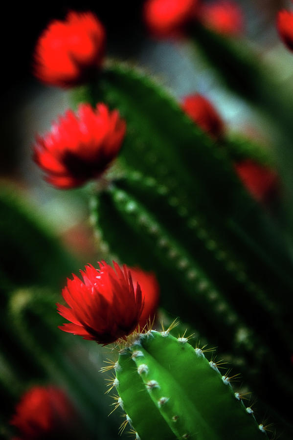 Christmas Cactus In Bloom Photograph by Kim Kozlowski Photography, Llc