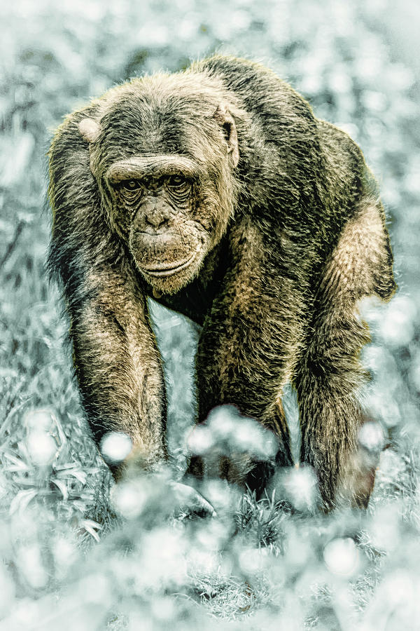Christmas Chimp by Chris Boulton