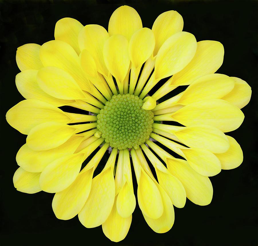 Chrysanthemum Photograph by Andrew Dernie