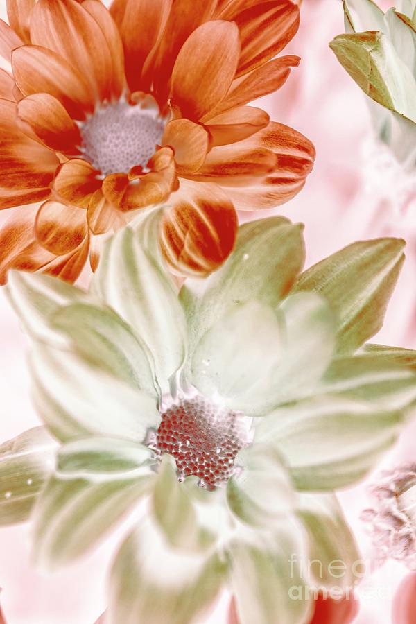 Floral Photograph - Chrysanthemum Creativity by Jorgo Photography - Wall Art Gallery