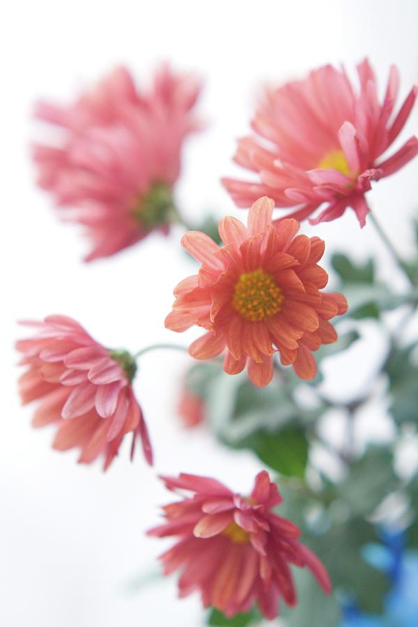 Chrysanthemum Photograph by Fumie Kobayashi