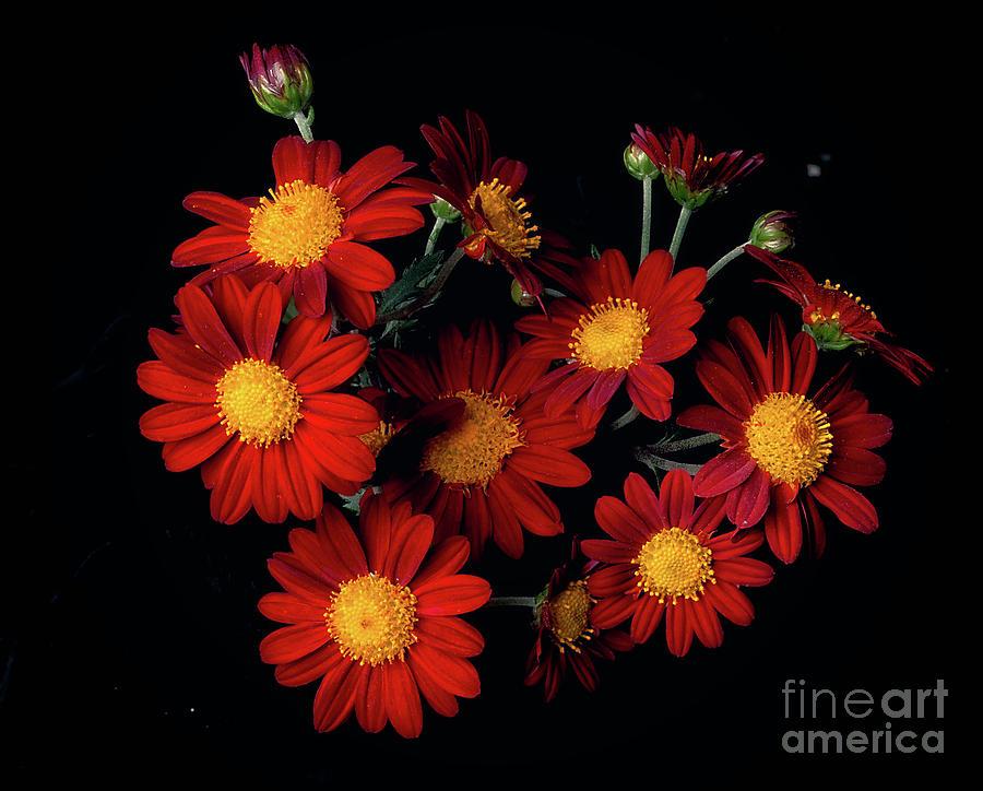 Chrysanthemum 'Kurume' by Ann Jacobson