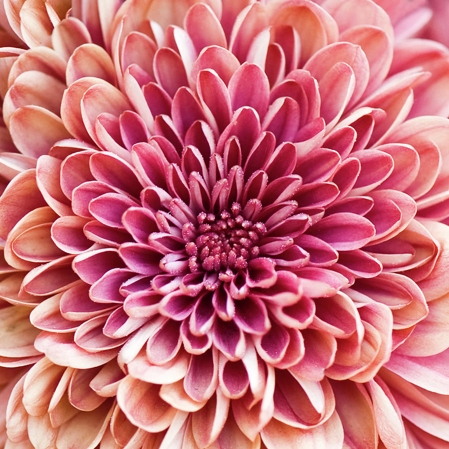 Chrysanthemum Photograph by Jody Trappe Photography