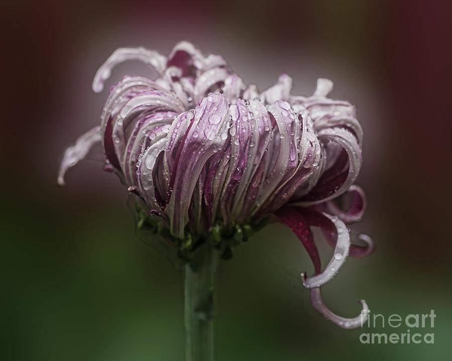 Chrysanthemum 'Lily Gallon' by Ann Jacobson