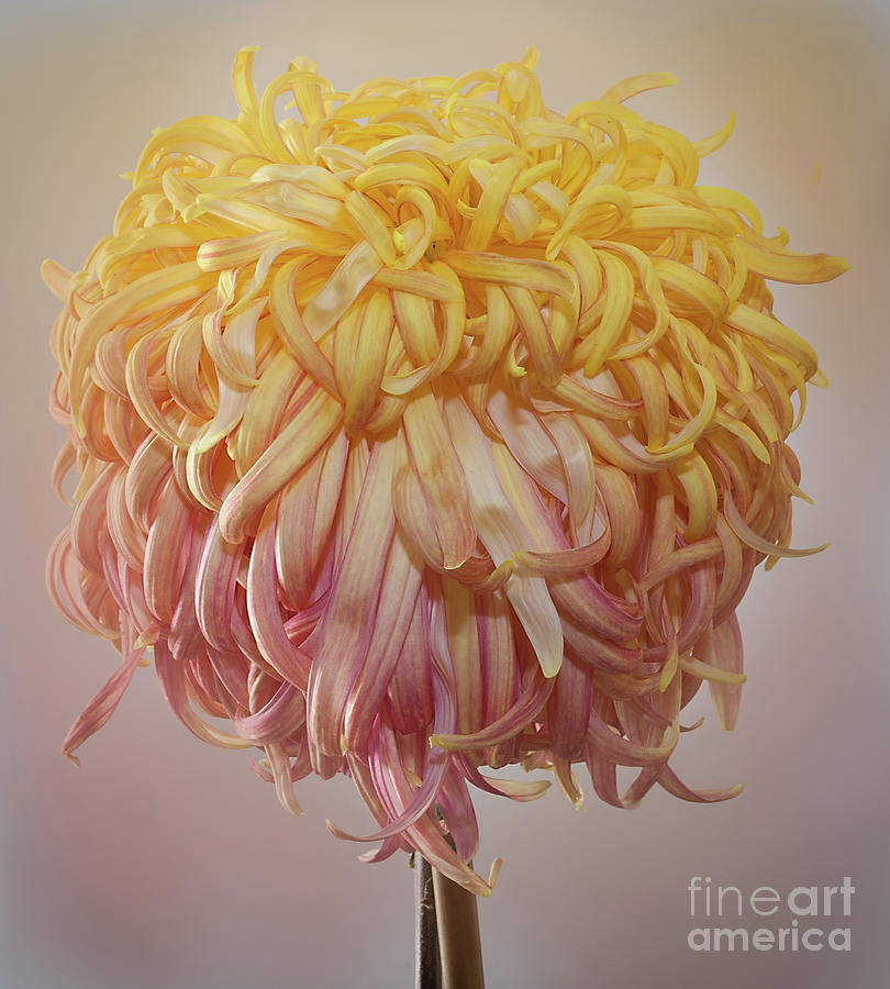 Chrysanthemum 'Louisiana' by Ann Jacobson