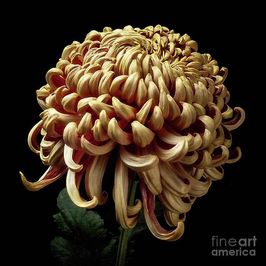 Chrysanthemum 'Nijin Bilgo' by Ann Jacobson