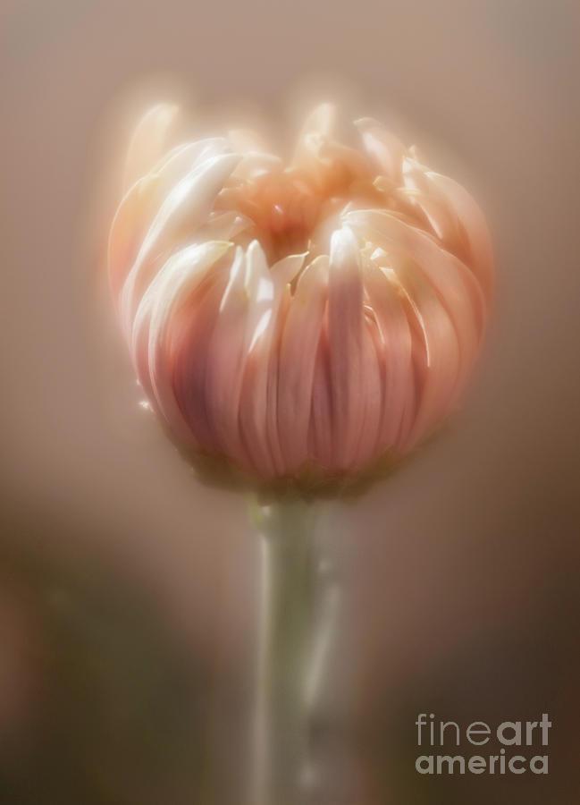 Chrysanthemum 'Seaton's Je Dore' by Ann Jacobson
