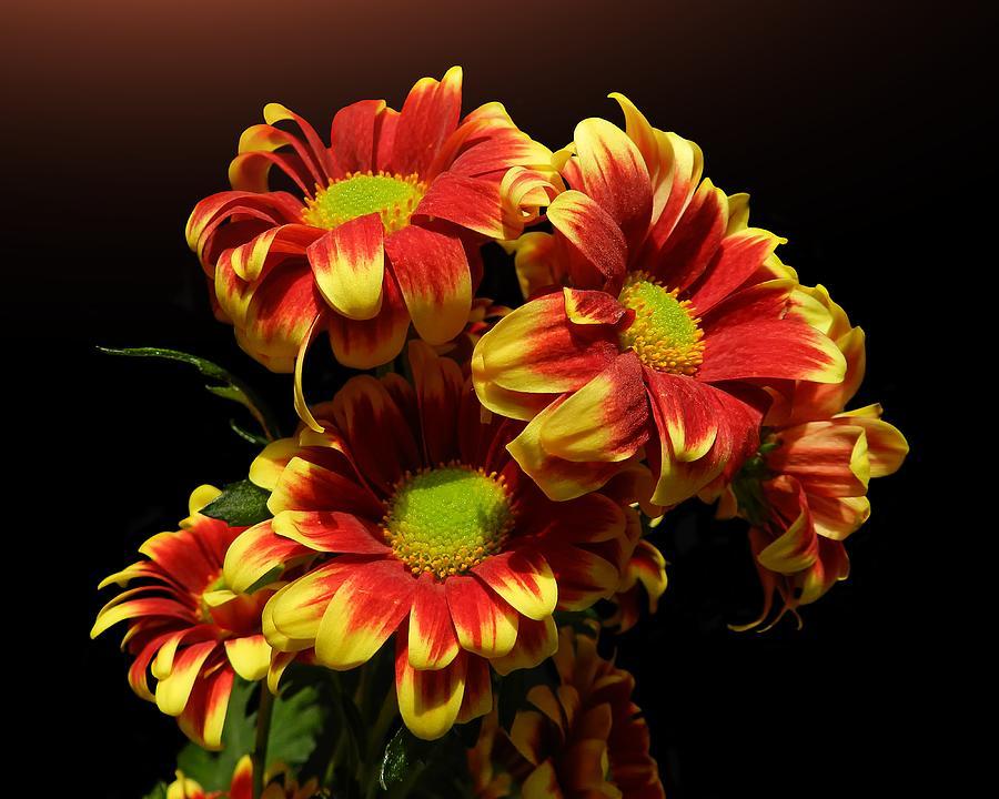 Chrysanthemums Photograph by Gitpix