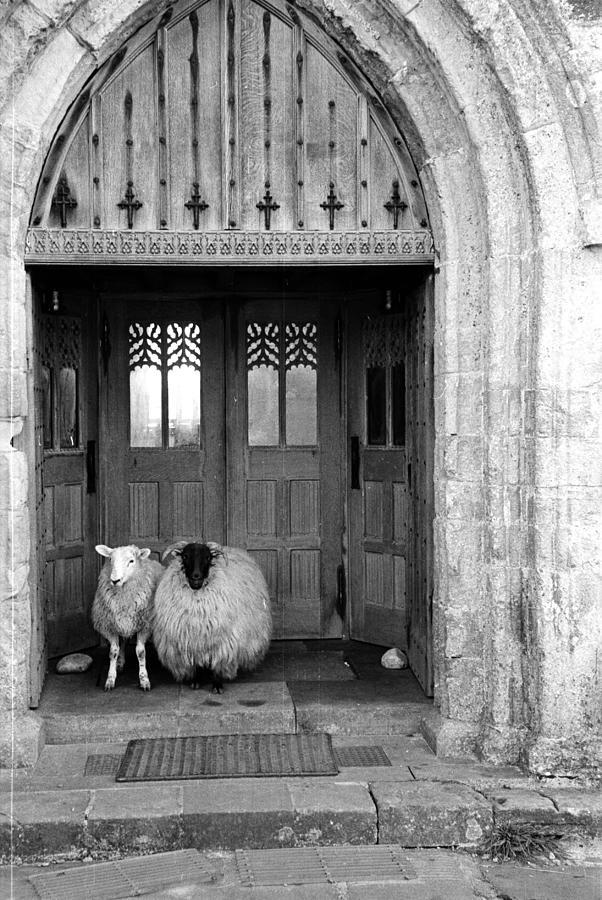 Church Sheep Photograph by Maurice Ambler