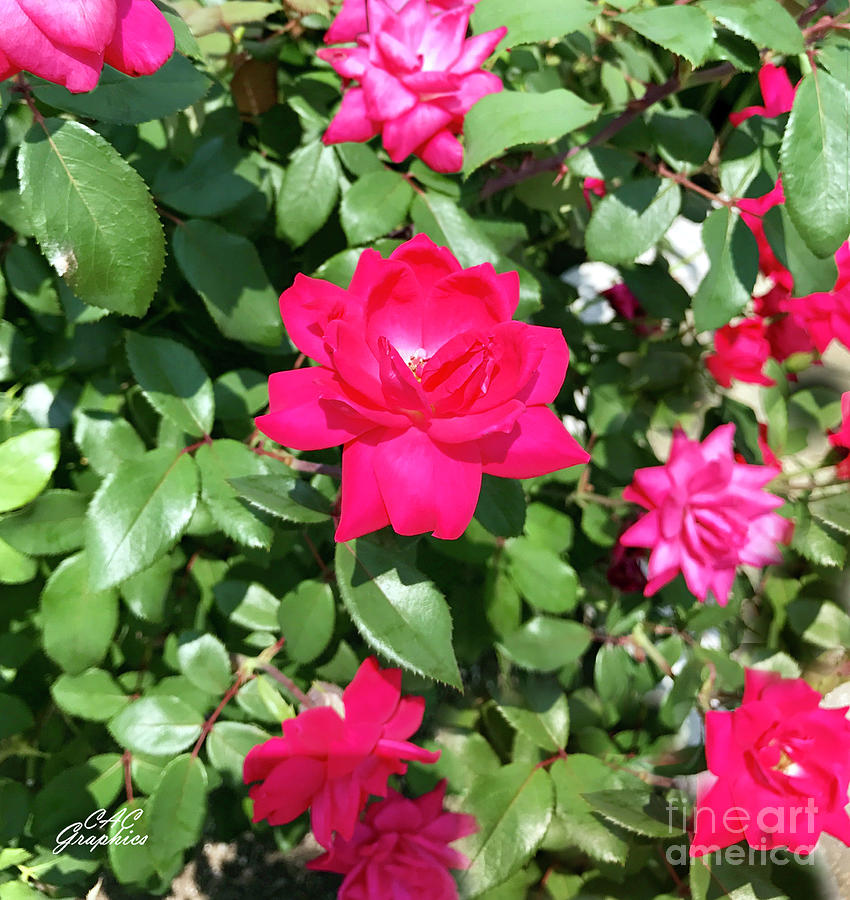 Churchill Downs Roses by CAC Graphics