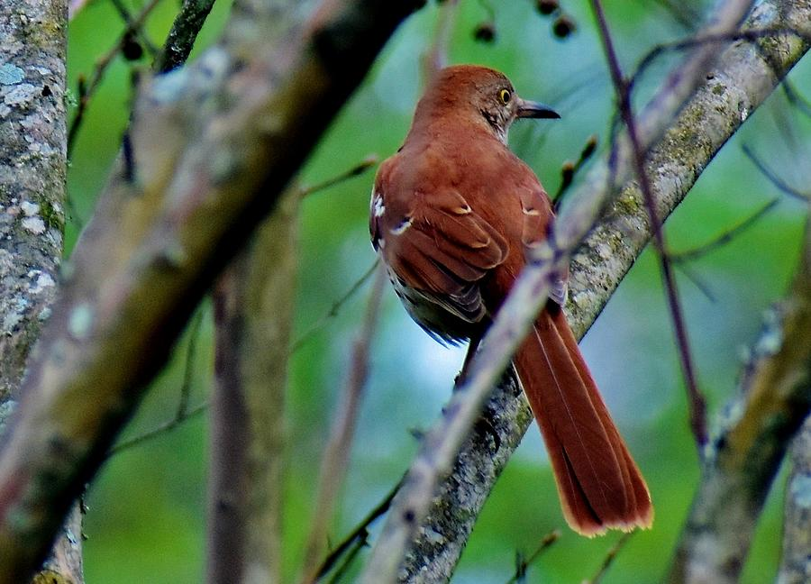 Cinnamon Red by Eileen Brymer