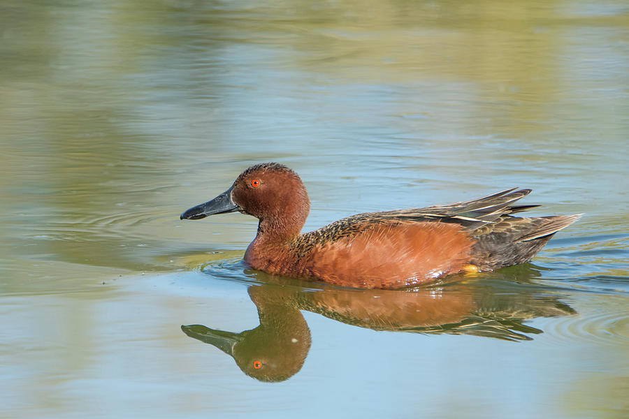 Cinnamon Teal Duck 7151-041519 by Tam Ryan