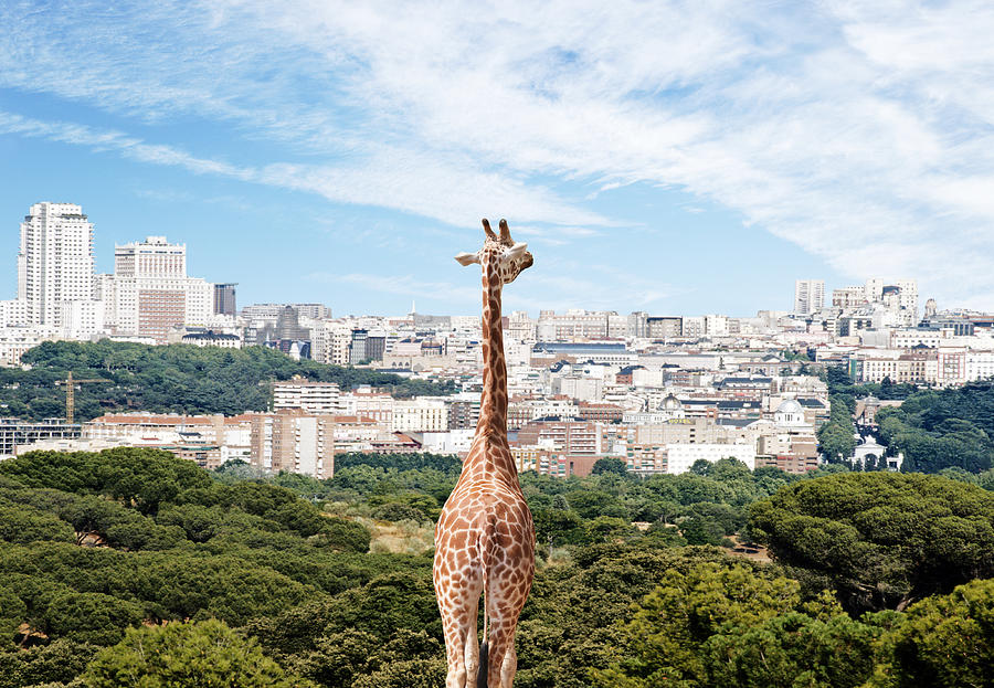 City Giraffe Photograph by Richard Newstead