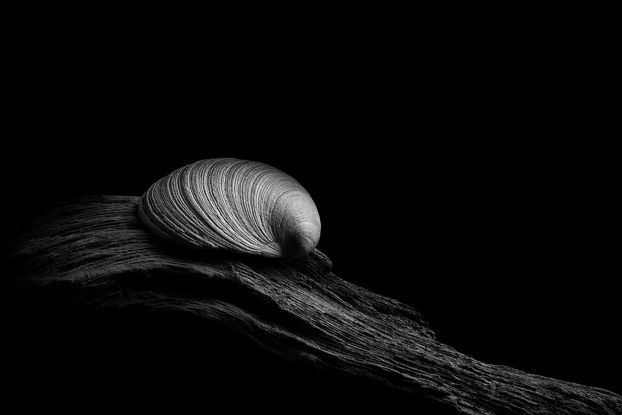 Clam Shell on Driftwood by Richard Rizzo