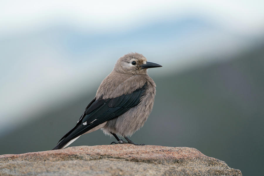 Clarks Nutcracker in the wild by Kyle Lee