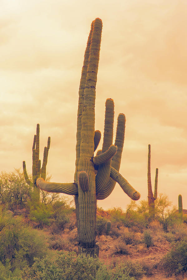 Classic Arizona Giant Saguaro by James BO Insogna