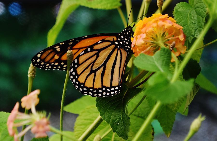 Classic Monarch by Eileen Brymer