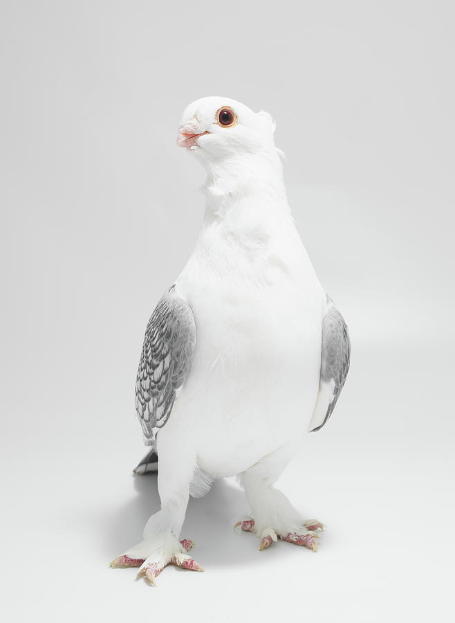 Classic Oriental Frill Pigeon by Nathan Abbott